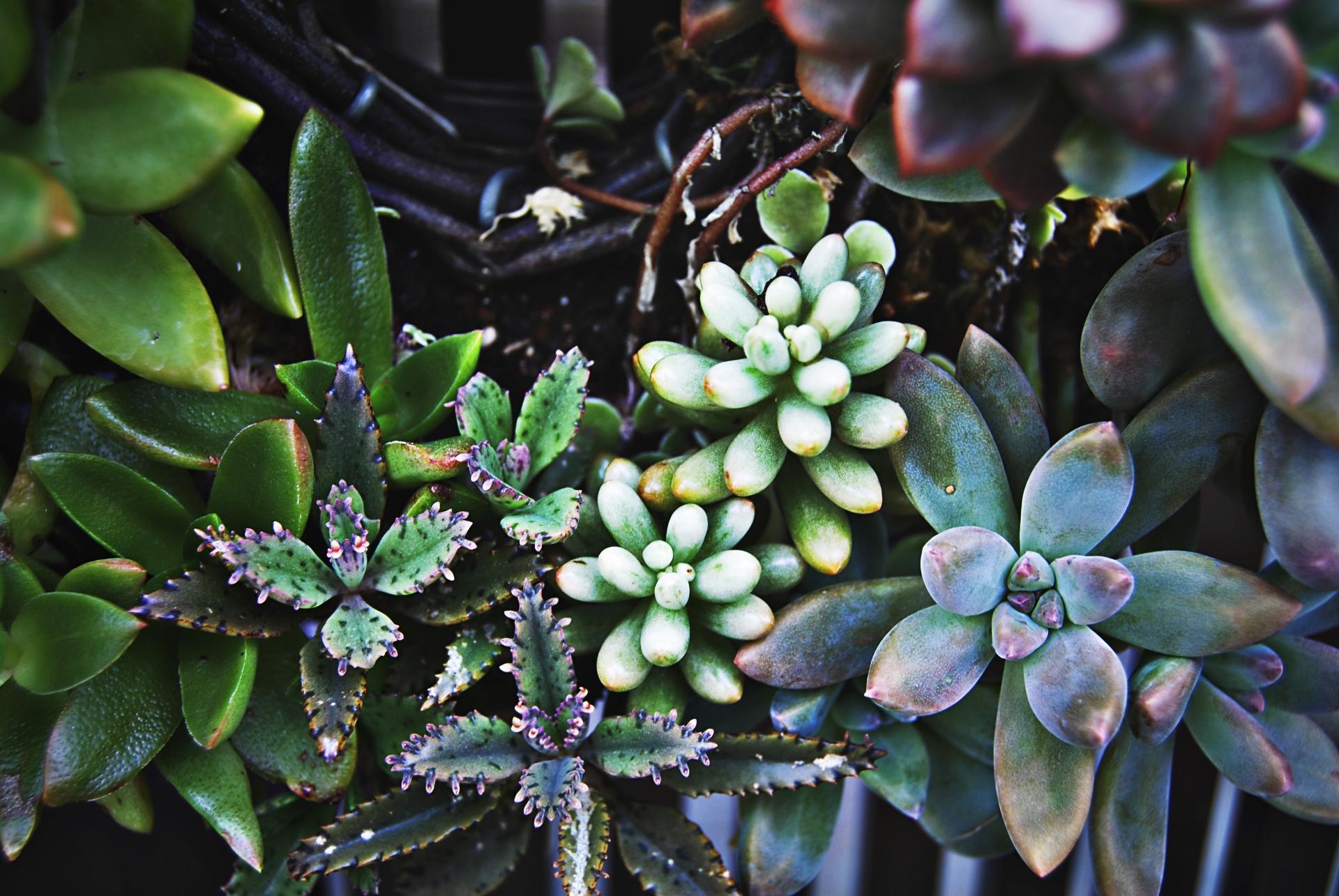 多肉植物の種類・初心者にもおすすめの花咲く多肉植物と育て方