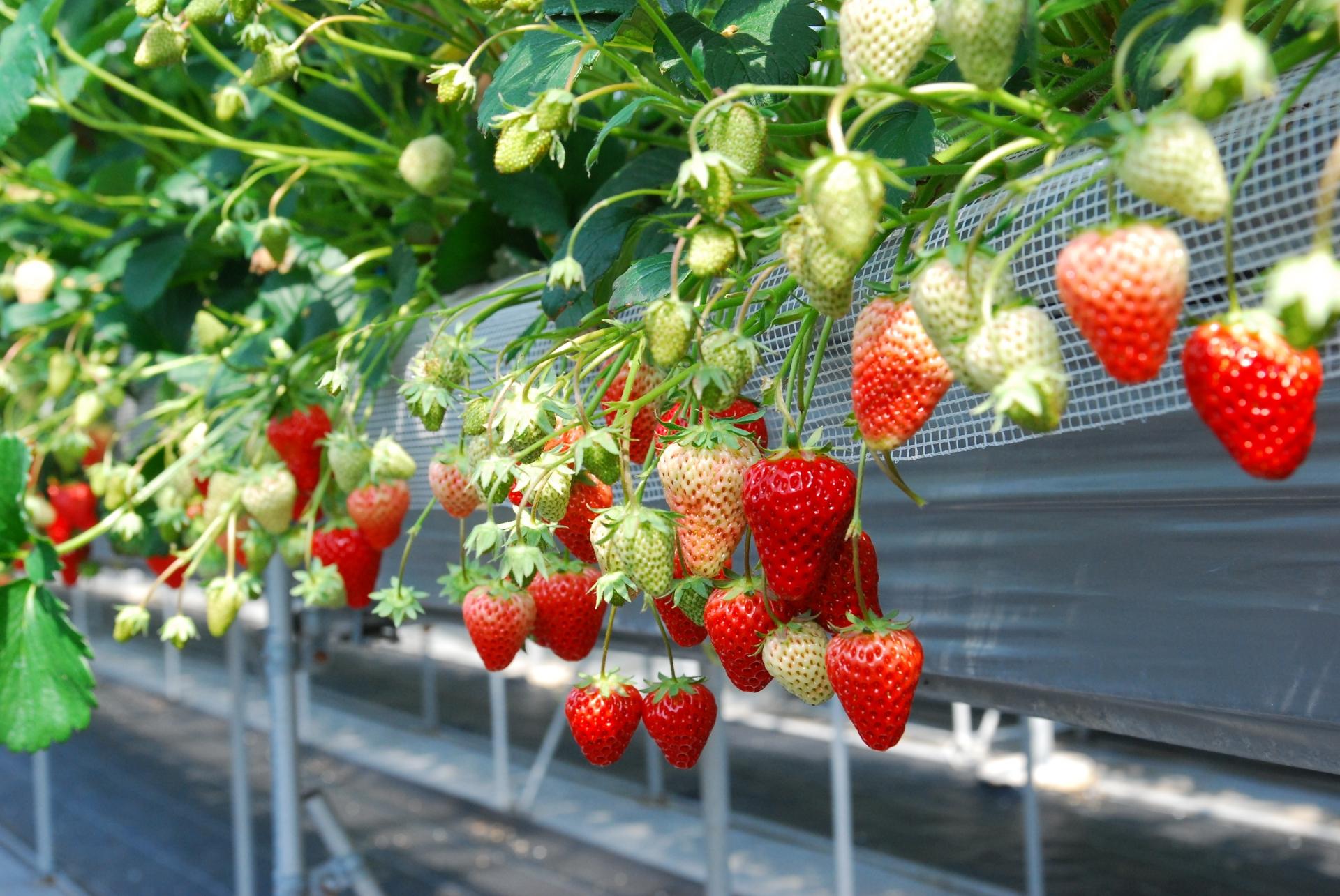 家庭菜園でいちごをプランターで育てる場合の準備と栽培のコツ