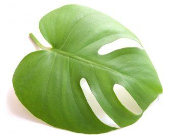 観葉植物モンステラを挿し木で増やす方法・メリットと管理方法