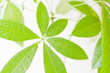 パキラの冬のトラブル・葉が黄色くなる原因と対処法を解説
