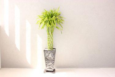 観葉植物のポニーテールの植え替え方法と育て方について
